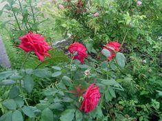 Rosas de mi jardin