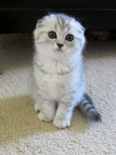 Scottish Fold Kittens For Sale 3 white kittens 1boy and 1girl - #scottish - More Scottish Fold Cat Breeds at Catsincare.com!