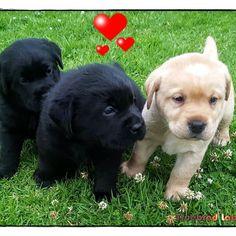 Truebred Labradors Truebredlabs On