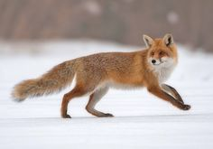 Fox mid-run in the snow Forest Animals, Nature Animals, Fox 11, Fox Pictures, Animal Graphic, Cute Fox, Wild Dogs, Woodland Creatures, Red Fox