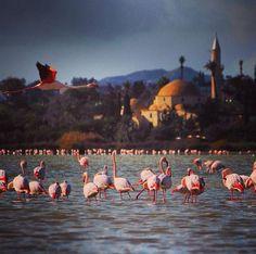 Cyprus --- Kalispera from Larnaka Flamingos! Photo by @marianicolaidou
