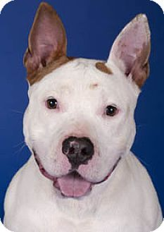 Chicago, IL - American Staffordshire Terrier Mix. Meet China, a dog for adoption. http://www.adoptapet.com/pet/11891917-chicago-illinois-american-staffordshire-terrier-mix