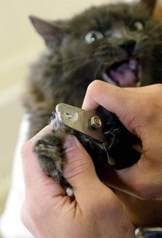 A cat named Victoria has her claws trimmed by a technician in West Hollywood, Calif. That city is also considering a ban on the declawing of cats.