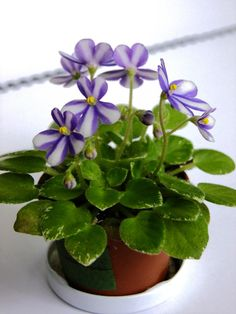 Pixie Runaround Sport | Miniature chimera trailer; single pinwheel bells of blue with wide center stripes; medium green and white variegated foliage.