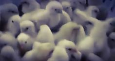 Egg Industry Grinds Millions Of Baby Chicks Alive