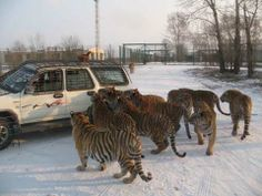 Siberian Tigers surround armored truck feeding them in Harbin, China, the Chinese gateway to Russia, Coffee Latte Art, Armored Truck, Harbin, Ocelot, Pink Panthers, Siberian Tiger, Leopards, Bucket Lists, Big Cats