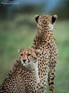 I've got your back mum!! Cheetah Amani and her youngster photographed in the Masai Mara, Kenya by Alison Buttigieg