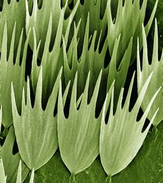 Moth wing scales    Kevin Mackenzie, University of Aberdeen    Scanning electron micrograph (SEM) of the scales on the wing of a Madagascan moon moth, Argema mittrei. This moth is also known as the Comet moth, after its very long tail. The tail span is 15 cm and wing span 20 cm, making it one of the world's largest silk moths.
