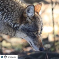 #Repost @gregweir with @repostapp.  Coyote