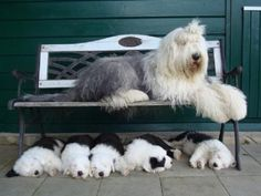 English Sheepdogs