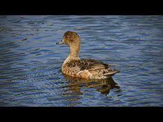 Haapana Bird, Animals, Animales, Animaux, Birds, Animal, Animais