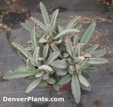 "The leaves of the ""Panda Plant"" are covered with soft whitish-gray fur and a band of brownish-red spots on the outside edges of the leaf. Place your ""Panda Plant"" in either part day full sunshine or very bright filtered light. Since they are a succulent type plant their soil should be allowed to dry about 1/3 the depth of the pot between waterings. Water thoroughly until water runs from the drain holes. Don't let your it sit in a saucer of water after watering. Feed bi-monthly with liquid…"