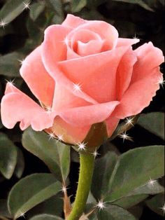 smell-a-vision Sonya Sweetheart Rose.my favorite