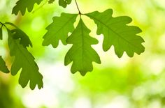 Trees | All About Oak Tree Leaves