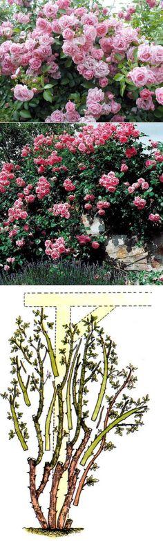 Выращивание плетистых роз.. | Сад и огород | Постила
