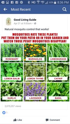 Plants to ward off mosquitoes Keeping Mosquitos Away, Bug Off, Mosquito Control, Natural Mosquito Repellant, Mosquito Repelling Plants, Lemon Balm, Backyard Makeover, Chickens Backyard, Raised Garden Beds