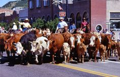 A cattle drive through downtown?  Just a normal day in Steamboat!