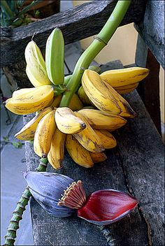 In the Caribbean they are called guineos niños. In Mexico, Trinidad and Tobago it is called Moco.In Guyana it's called apple banana Fruit And Veg, Fruits And Vegetables, Trini Food, Banana Flower, Fruit Picture, Banana Plants, Fruit Photography, Caribbean Recipes, Tropical Fruits