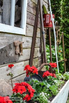 Red geraniums in an old crate with rusty tool supports / Rustic garden shed with old signs, tools and a grapevine, on FunkyJunkInteriors.net
