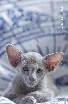 Jack Frost of Noah´s Ark, lavender Oriental Longhair Pretty Cats, Beautiful Cats, Animals Beautiful, Beautiful Pictures, Animals And Pets, Baby Animals, Cute Animals, Sphynx, Kittens Cutest