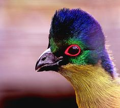 The Purple-crested Turaco (Tauraco porphyreolophus) is a definite contender for one of the 'punkest' birds in the whole animal kingdom.