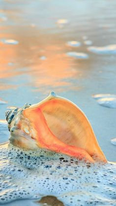 Whelk shell in the seafoam, Hatteras Island. Pictures of the Outer Banks by Dan … Whelk shell in the seafoam, Hatteras Island. Pictures of the Outer Banks by Dan Waters Hatteras Island, I Love The Beach, Ocean Beach, Shell Beach, Ocean Waves, Beach Relax, Ocean Sunset, Ocean Art, Beach Bum