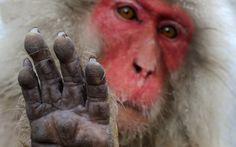 Snow Monkeys by Jasper Doest Photography Photos, Animal Photography, Monkey 3, Take A Shot, Primates, Nature Animals, Snow Monkeys, Image, Jasper