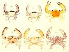 Trapezia Crabs Watercolors | Smithsonian Ocean Portal
