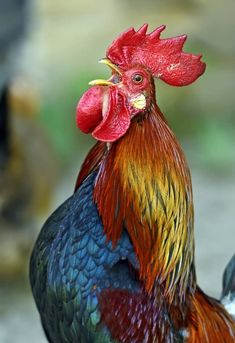 Handsome domestic rooster (Galus galus) announcing his presence with a loud crow. Beautiful Chickens, Beautiful Birds, Animals Beautiful, Beautiful Pictures, Rooster Painting, Rooster Art, Hen Chicken, Chicken Art, Farm Animals