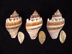 Melongena corona Florida Kings Crown from Tampa Bay, FL. Live collected and includes the operculum. These shells are 70, 71 and 74 mm. Beautiful dark color and nice spines make these wonderful shells for your collection. | eBay!