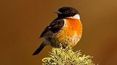 Saw and heard Stonechats on the Wales Coastal Path near to Church Bay on Anglesey