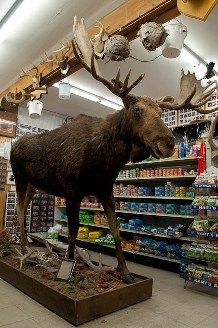 Moose inside Curriers Market in Glover Vermont... oh my goodness,  I used to work here!!!