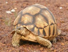 A crisp image of an Angonoka tortoise.  The Angonoka or Ploughshare Tortoise is one of the rarest tortoises in the world and is noted for its unique shell shape and colors.  Let's keep working with Madagascar for a bit – this is the Angonoka, possibly the most endangered tortoise in the world. It is also called the Ploughshare Tortoise for the way that its shell ends in scale-like patterns around its legs.  Like all tortoises, this little guy looks both harmless and hard to kill, but they…