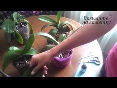 Опрыскивание орхидей. Как протирать листы фаленопсиса. - YouTube