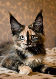 ...and the award for Most Amazing Ears goes to... http://www.mainecoonguide.com/how-to-keep-a-maine-coon-growth-chart/