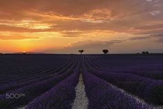 "Lavender - Sunset at the Provence, France. <a href=""http://www.jotagphotography.com"">www.jotagphotography.com</a> <a href=""https://www.facebook.com/jotagphotography"">Facebookpage</a>"