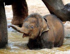 Una cría de elefante se mete en el agua por primera vez.
