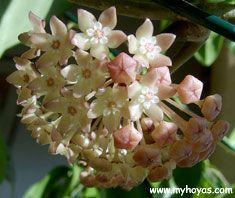 Hoya polystachya