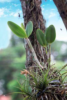 Veja o passo a passo de como plantar orquídeas em árvores Mais do que uma prática exclusiva de orquidólogos experientes, o plantio de orquídeas em árvores tem ganhado as cidades… leia mais →