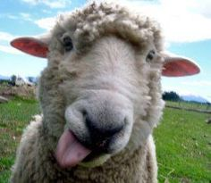 """From the Facebook page of """"Wool Applique"""", Kathy Brown posted this: """"Aaaaccckk!!!! Miss me? We've missed you and our regularly scheduled Friday sheepie posts! Rest assured, we'll be baaaack!"""""""