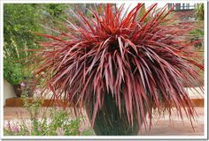 Cordyline Festival Grass in a container looks gorgeous!