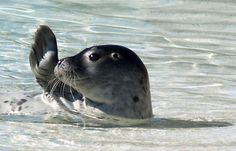 baby seals are too stinkin' cute