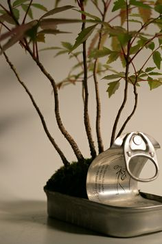 Bonsai diary-the experimental bonsai diary- Hazenoki.  Can of anchovies