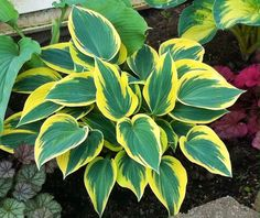 Some Pictures From My Garden Today (pic Heavy!)   Hosta Forum   GardenWeb