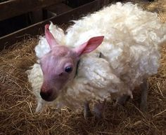 A lamb born with no wool, covered by fleece from other lamb.
