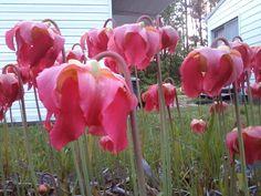 Sarracenia  blooming