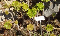 Specie botaniche a Villa #Hanbury --> Aeonium holochrysum: pianta subtropicale appartenenti alla famiglia delle Crassulaceae. Si tratta di un arbusto ramificato le cui foglie nascono da una rosetta. Le infiorescenze compaiono in luglio e agosto e sono di colore giallo --> http://www.allyoucanitaly.it/blog/video-villa-hanbury