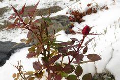 冬が来て。。。    どんどん気温が下がってゆき、でもあと一日暖かい日差しがあればきっと花開く! との願いは虚しく、雪  流石に枝を切って窓辺に置いたら 翌日には既に少し花が開きだした。  驚いたことに 枝を切ったその晩、外気温は −17℃まで下がっていた。 (11月でこの気温は低すぎる)  良かった〜 花が凍りつくところだった。  そして今朝、綺麗な花 :rose: を咲かせている。  大好きな深紅の薔薇。
