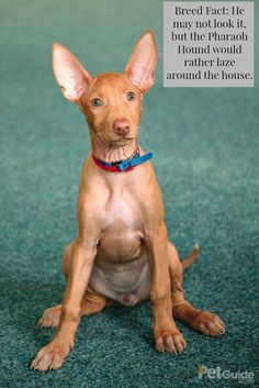 The Pharaoh Hound is a medium-sized dog with a slim build and a reddish-brown coat.