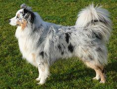 Beautiful Australian Shepard with the long tail i want a dog like this soooo bad!! <3